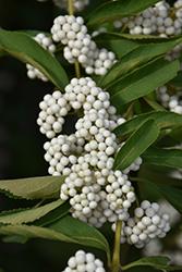 White Beautyberry (Callicarpa dichotoma 'f. albifructa') at GardenWorks