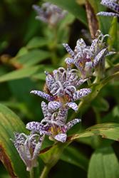 Toad Lily (Tricyrtis hirta) at GardenWorks