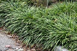 Big Blue Lily Turf (Liriope muscari 'Big Blue') at GardenWorks