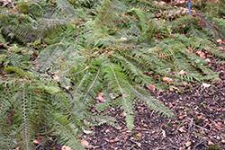 Herrenhausen Shield Fern (Polystichum setiferum 'Herrenhausen') at GardenWorks