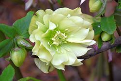 Golden Lotus Hellebore (Helleborus 'Golden Lotus') at GardenWorks