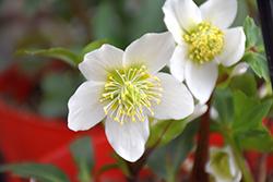 Gold Collection Jacob Hellebore (Helleborus niger 'Jacob') at GardenWorks