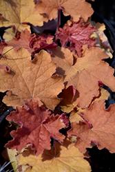 Kassandra Coral Bells (Heuchera 'Kassandra') at GardenWorks