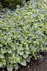 Jack Frost Bugloss (Brunnera macrophylla 'Jack Frost') at GardenWorks