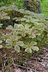 Chestnut Rodgersia (Rodgersia aesculifolia) at GardenWorks