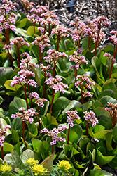 Pink Dragonfly Bergenia (Bergenia 'Pink Dragonfly') at GardenWorks