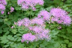 Meadow Rue (Thalictrum aquilegifolium) at GardenWorks