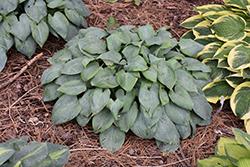 Fragrant Blue Hosta (Hosta 'Fragrant Blue') at GardenWorks