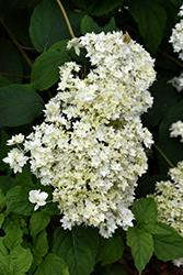 Hayes Starburst Hydrangea (Hydrangea arborescens 'Hayes Starburst') at GardenWorks