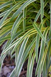 Silvery Sunproof Variegated Lily Turf (Liriope muscari 'Silvery Sunproof') at GardenWorks