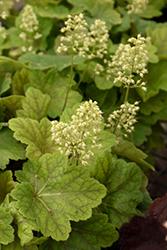 Delta Dawn Coral Bells (Heuchera 'Delta Dawn') at GardenWorks