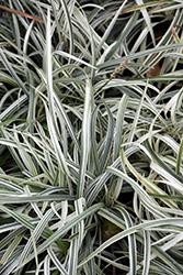 Silver Dragon Lily Turf (Liriope spicata 'Silver Dragon') at GardenWorks
