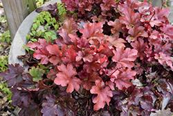 Peach Flambe Coral Bells (Heuchera 'Peach Flambe') at GardenWorks
