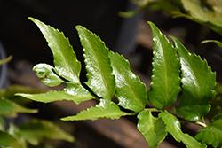 Japanese Holly Fern (Cyrtomium falcatum) at GardenWorks