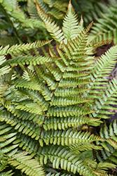 Autumn Fern (Dryopteris erythrosora) at GardenWorks
