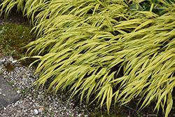 Golden Variegated Hakone Grass (Hakonechloa macra 'Aureola') at GardenWorks