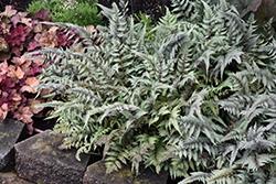 Japanese Painted Fern (Athyrium nipponicum 'Pictum') at GardenWorks