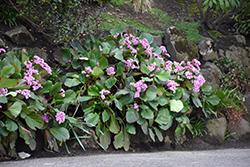 Heartleaf Bergenia (Bergenia cordifolia) at GardenWorks