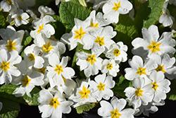 Fairy Primrose (Primula japonica) at GardenWorks