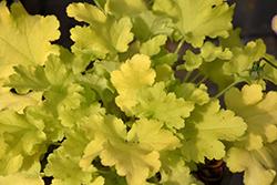 Lime Marmalade Coral Bells (Heuchera 'Lime Marmalade') at GardenWorks