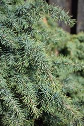 Divinely Blue Deodar Cedar (Cedrus deodara 'Divinely Blue') at GardenWorks