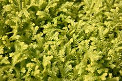 Golden Spikemoss (Selaginella kraussiana 'Aurea') at GardenWorks