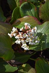 Bressingham White Bergenia (Bergenia 'Bressingham White') at GardenWorks