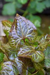 Beesia (Beesia deltophylla) at GardenWorks