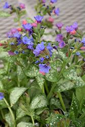 High Contrast Lungwort (Pulmonaria 'High Contrast') at GardenWorks