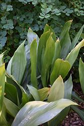 Cast Iron Plant (Aspidistra elatior) at GardenWorks