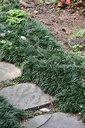 Dwarf Mondo Grass (Ophiopogon japonicus 'Nanus') at GardenWorks