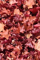 Fire Alarm Coral Bells (Heuchera 'Fire Alarm') at GardenWorks