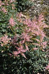 Hennie Graafland Astilbe (Astilbe simplicifolia 'Hennie Graafland') at GardenWorks