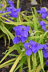 Sweet Kate Spiderwort (Tradescantia x andersoniana 'Sweet Kate') at GardenWorks