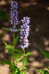 Blue Fortune Anise Hyssop (Agastache 'Blue Fortune') at GardenWorks